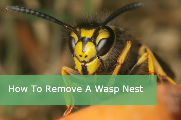 How to safely remove a wasp's nest!